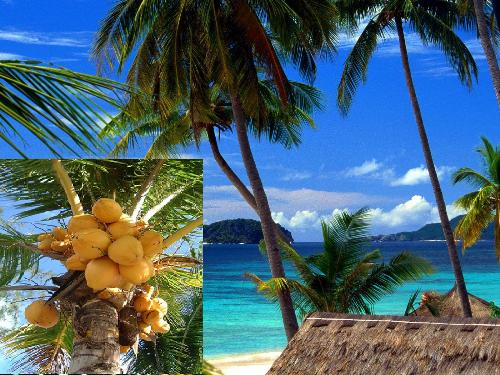 coconut tree of life - Coconut tree is consider the fruit of life, because of its benefits starting from roots to it's upper trunks could be utilize into many products and by products.