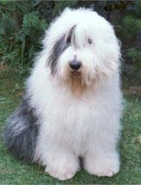 tags  old english sheepdog   bobtail