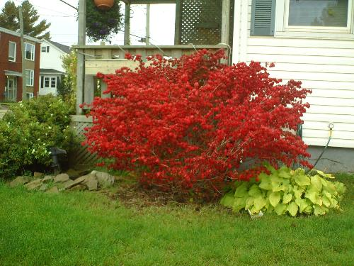 Autumn turned this once green bush into a brillian - I was taking my walk around the neighbourhood and saw this gorgeous fire red bush. It was unbelievable.