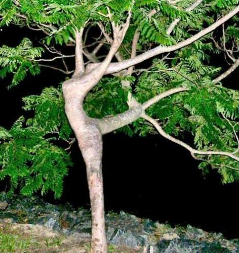 tree - Its shape seems a lady is dancing.