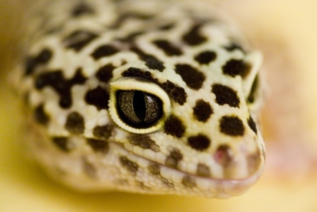 How to feed leopard geckos