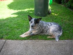 my dog jessica - blue cattle dog - mixture of blue and red cattle dog
