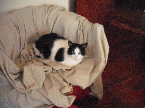 My Bigguy - cat, bigguy