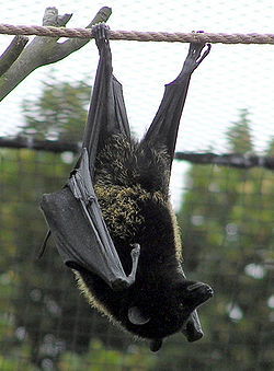 Steve the Fruitbat - This is a picture of Steve the Fruitbat.