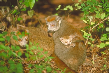 Monkeys - Crowned Lemur