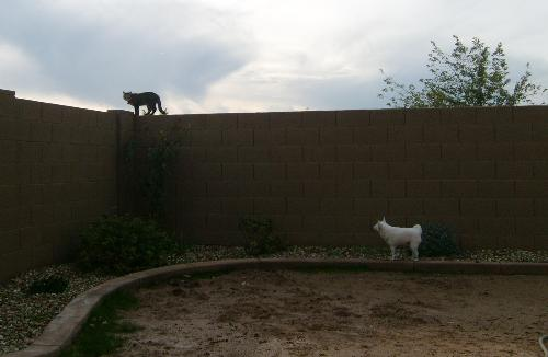 coco, tippy toeing, and kitty,on wall, this mornin - coco tippy toeing and kitty on wall