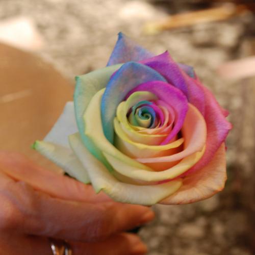 rose - colourful
