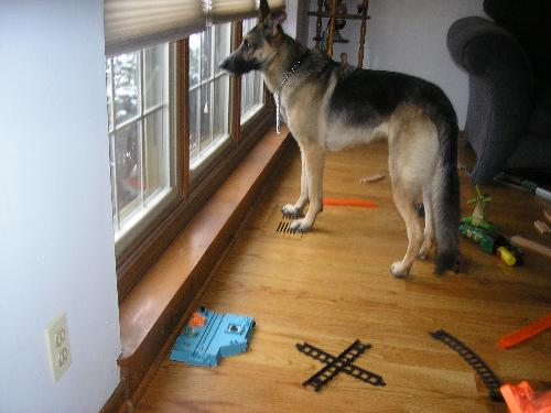 Our New German Shepherd Cora - This is a picture of our beautiful new german shepherd Cora, looking out the window of my son's play room.