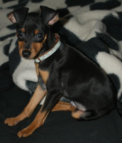 Bruiser (new min pin) - This is my new min pin bruiser!