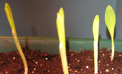 Corn Seedlings - Yellow and white sweet corn seedlings I started this year.