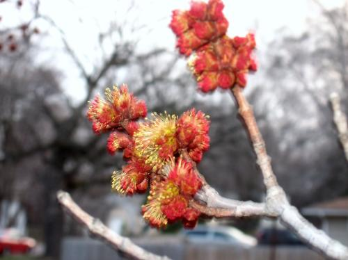 Red Maple Blossom - Blossoming early this year.