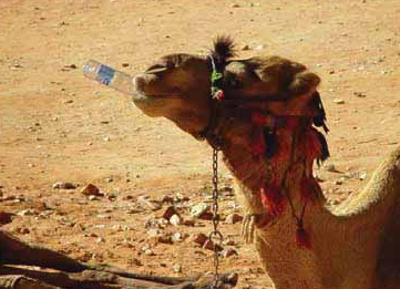 Water - A camel is quenching its thirst in a desert in India