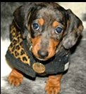 Dachshund Puppy - Black and tan dachshund puppy