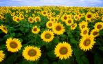 Yay! I love Sunflowers - Aren't they just beautiful!