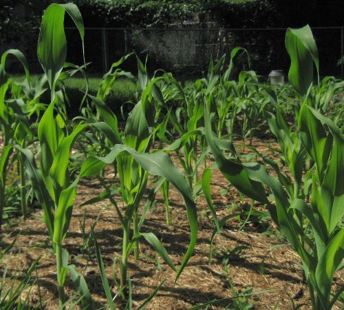 Sweet Corn - My corn stalks here in Minnesota.