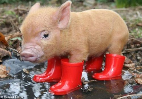 cute pig red boots pigsty home - I am putting this image to my discussion because I think it is oh so cute and I love the image and wanted to use it so there.