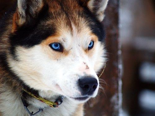 Breed Of Dog Worth Wolf Eyes