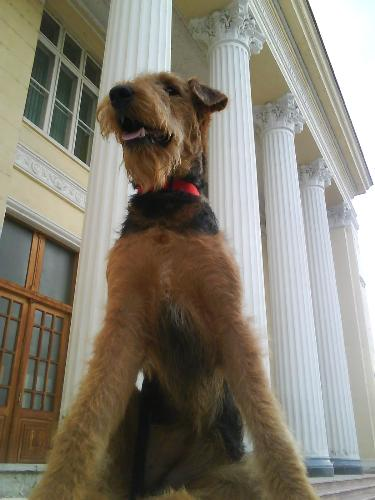 Her Majesty, Binne the Airedale - I think she has such a impressive posture in this picture, like she were a princess or something