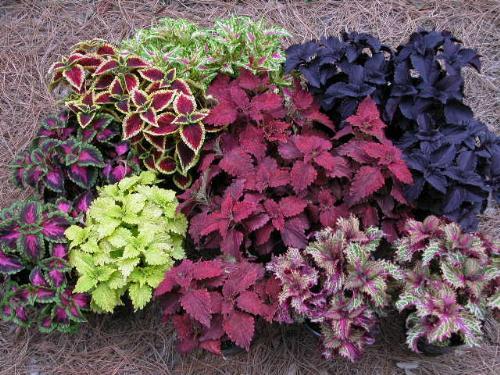 coleus - colorful varieties of coleus plants