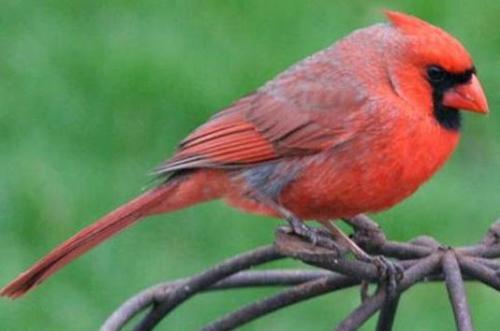 Cardinal - Lovely red bird
