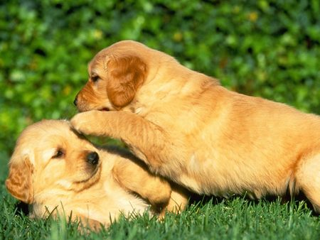 golden retriever puppy cute. Golden retrievers puppies