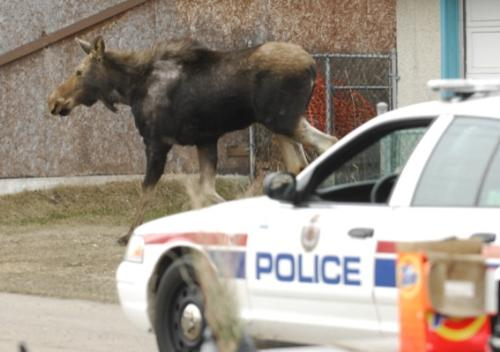 Moose - A moose loose in the city