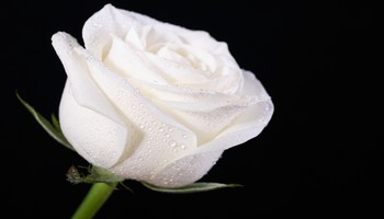 White rose - White rose with dark background