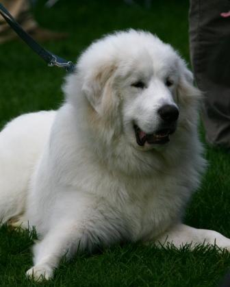 Big furry dog big white furry dog mylot