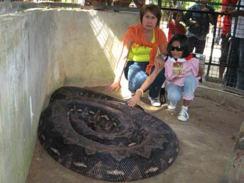 biggest piton in captivity - a very big piton in a zoo in phillipines ^^