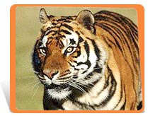 Tiger - Save tigers in India