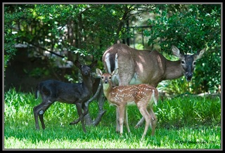 Black Fawn - This is a picture of a black fawn taken with its twin and mother.
