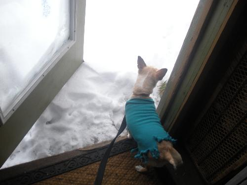 Cuddles is not too sure .. - My chihuahua attempting to go outside, eventually had give her a little nudge to make her go