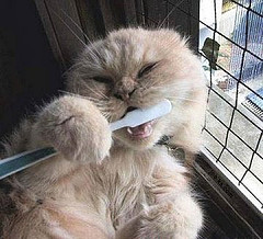 cat using a toothbrush - picture of a cat using a toothbrush