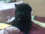 Yuro  - Our new bear chow he is so cute but temperemental one heheheh!
