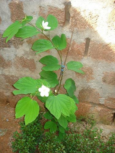 Mandhara  - Our house is named mandhara after this flower..
