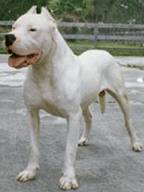 Argintine Dogo... - This is an Argintine Dogo & looks like a relative of the Pit Bull.