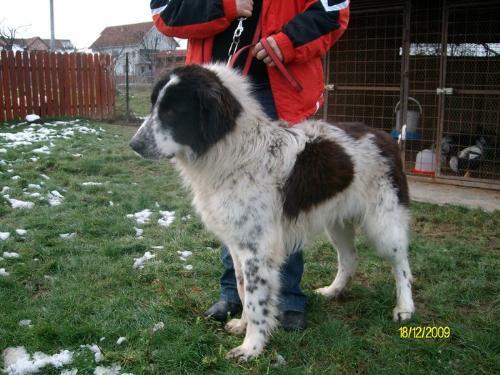 De Bucovina Shepherd - Romanian shepherd de Bucovina