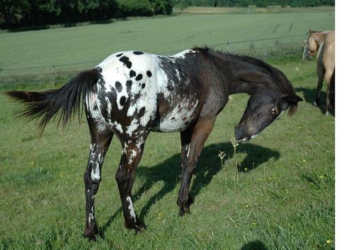 Appaloosa - Black appaloosa with blanket with large spots.