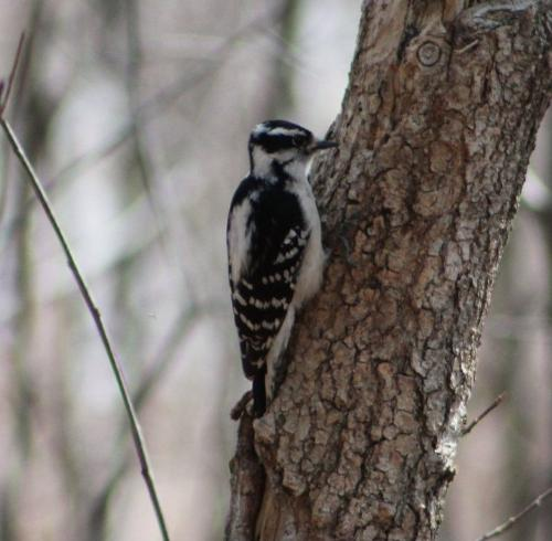Woodpecker - Woodpeckers are allready at work pecking on trees!