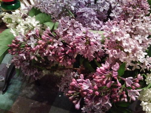 I cut some lilacs the other night - The smell is heavenly. I have all shades from white through pinks and lavenders.