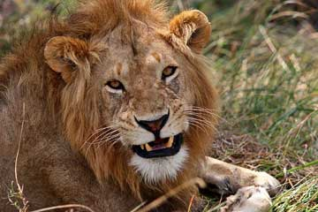 Lion - An African male Lion.