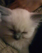 My female ragdoll, when she was a kitten - She was really small