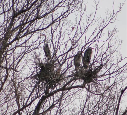 Blue Herons - Blue Herons in a tree.