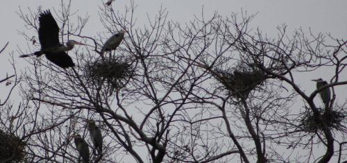 Blue Herons - They like to nest in trees. I thought they nested on the ground!
