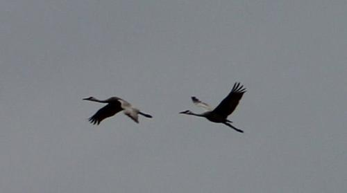 Sandhill Cranes - Sandhill cranes in flight. They are very loud birds when they 'talk'!