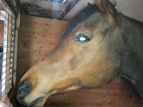 Sera - Sera is a 16 year old Arab mare. I think she has an ugly head! It is too long and doesn't have must of a dished face!