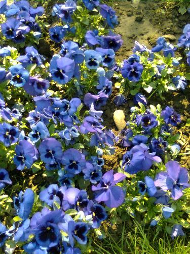 Blue Crocus flowers - bunch of blue crocus flowers from Bucharest, Romania.