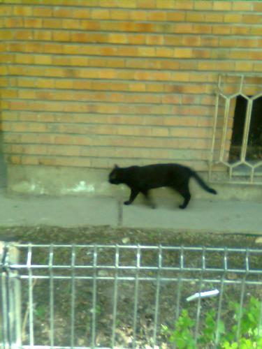 Stray Black Cat - here is another stray, black cat. I just hope she doesn't get much trouble from superstitious people out there.