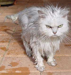 Wet Cat - A very wet and very angry looking cat.