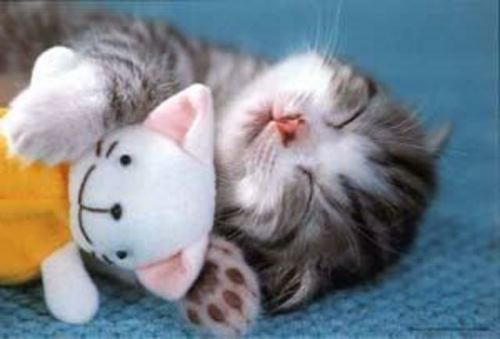 Sleepy Kitten - A kitten sleeping with its paw around a stuffed animal.